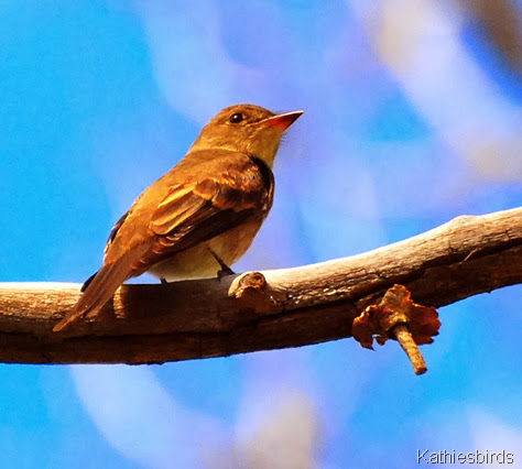 8. willow flycatcher-kab