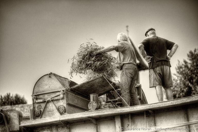 Feeding the thresher