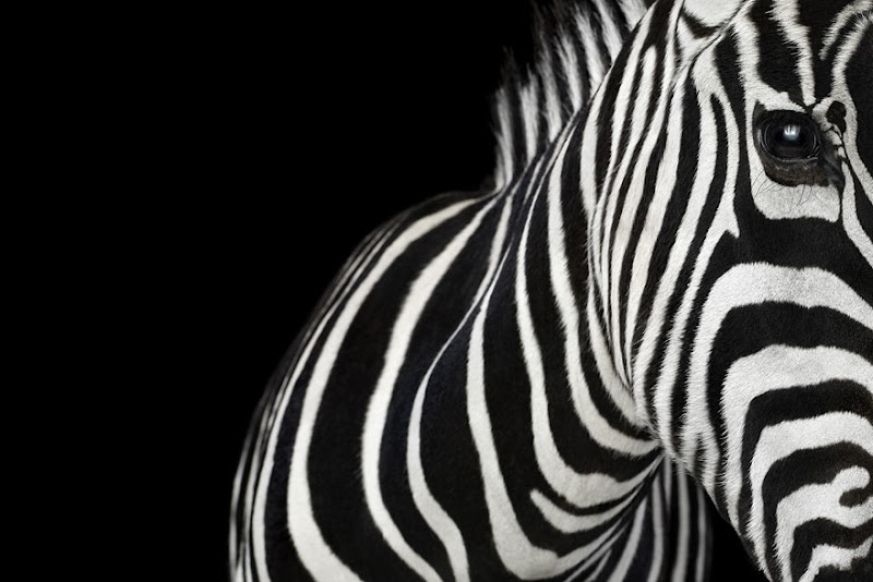 animal-photography-affinity-Brad-Wilson-zebra-1.jpeg