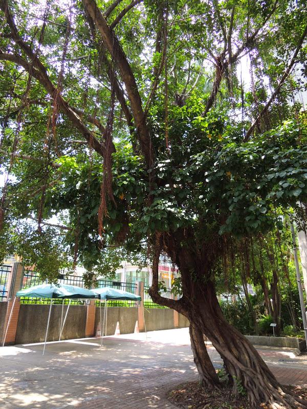 小學校分享工作室前榕樹 + 茄苳樹.jpg