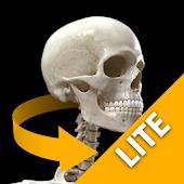 Skeletal System 3D Anatomy Lt