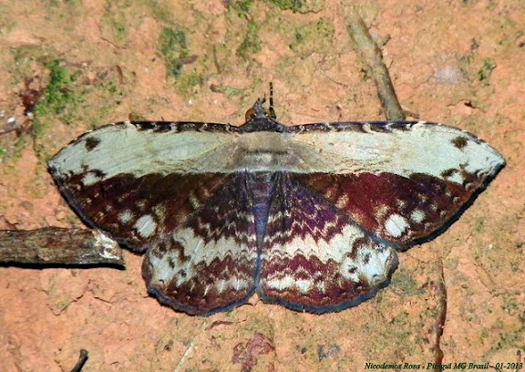 Noctuidae : Ophiderinae : probablement Hemeroblemma helima (STOLL, 1782). Pitangui (MG, Brésil), 6 janvier 2013. Photo : Nicodemos Rosa