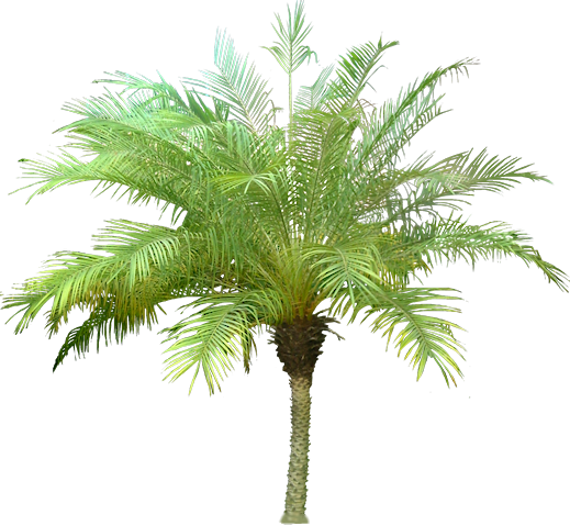 Jual Pohon Palem Phoenix Murah