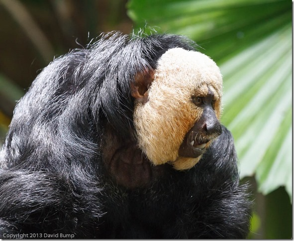 Golden Faced Saki
