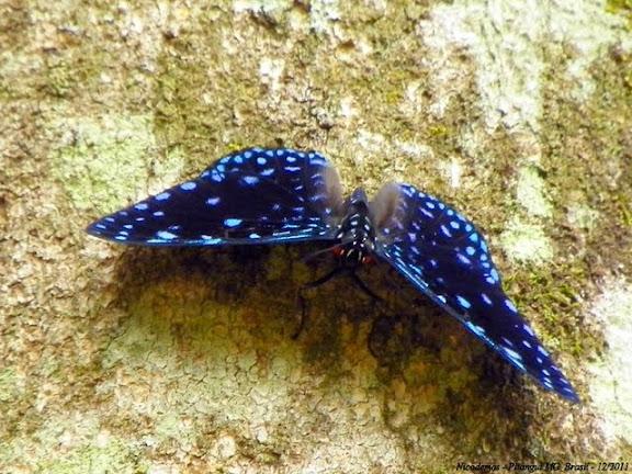 Hamadryas laodamia laodamia (CRAMER, 1777), mâle. Pitangui (Minas Gerais, Brésil), 17 décembre 2011. Photo : Nicodemos Rosa