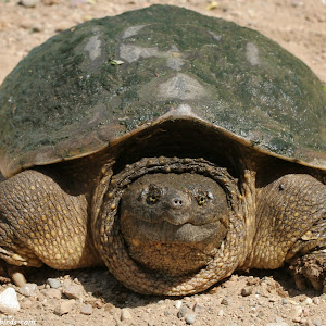 snapping_turtle_1920x1080.jpg