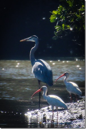 IMG_3425 Great Blue Heron with White Ibis