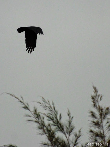 6. fish crow-kab