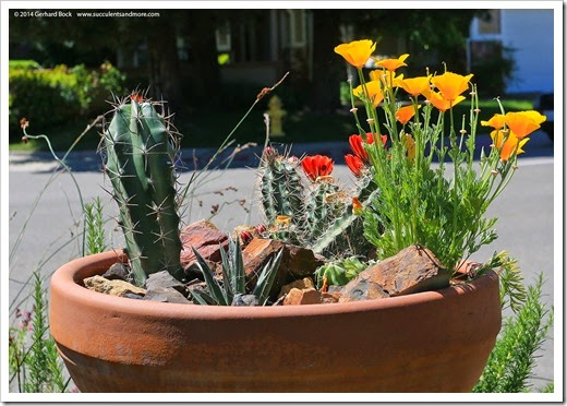 140414_claret-cup- -poppy-bowl_026