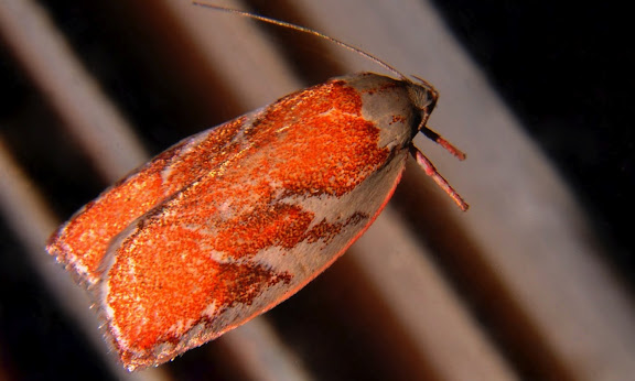 Oechophoridae : Oecophorinae : Euchaetis rhizobola MEYRICK, 1888. Umina Beach (NSW, Australie), 28 septembre 2011. Photo : Barbara Kedzierski