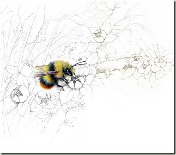 Pencil and Leaf: The Early Bumble bee, Bombus pratorum