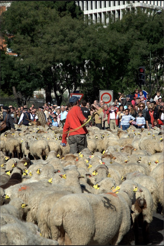 sheep-protest-5