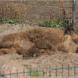 Mangalitza-Wollschwein (pennt)