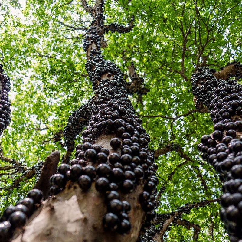 Jabuticaba: The Tree That Bear Fruits on its Trunk