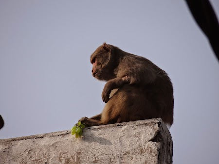 23. Maimuta si strugurele.JPG