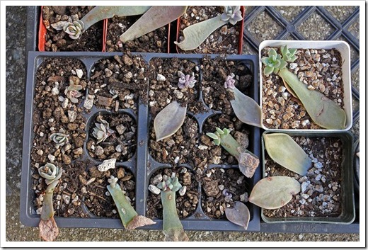120202_leaf-cuttings2
