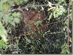 nest in mistletoe 3-24-2012 9-02-34 AM 3616x2712