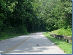 1008 Virginia - Blue Ridge Parkway North - squirrel on road