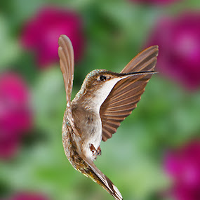 by Lyle Gallup - Animals Birds ( flight, nature, colorful, hummingbird, posed, , bird, fly )