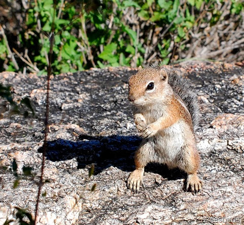 8. antelope ground squirrel-kab