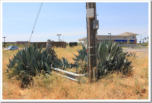 120715_apocalyptic_agave23