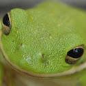 Green Tree Frog (American)