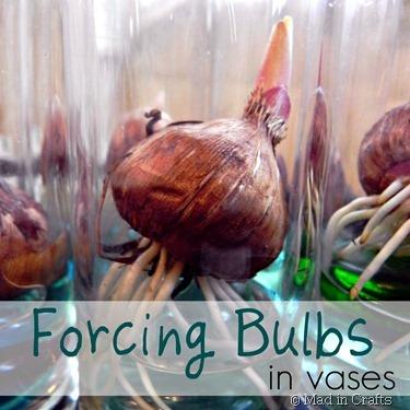 forcing gladiolus