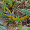 Yellowtail Cribo