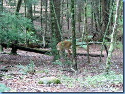 0122 Great Smoky Mountain National Park  - Tennessee - Cades Cove Scenic Loop - white-tailed deer
