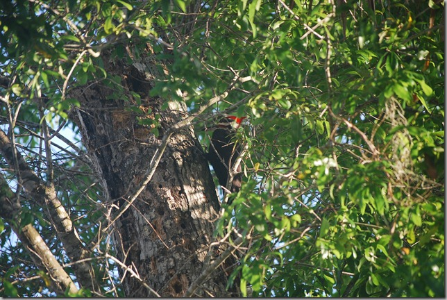 Large Red Headed Woodpecker