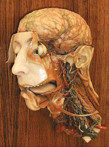 Testa anatomica cera sistema linfatico (C.Susini)(medio)