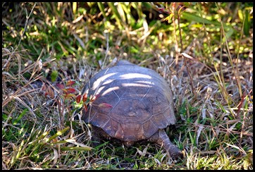 03e3 - Eagle Walk - Gopher Tortoise