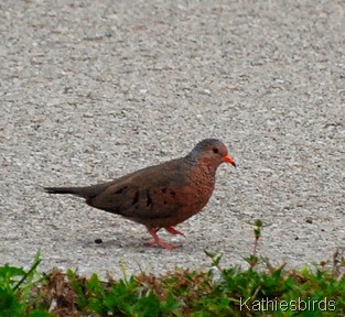 5. common ground dove-kab