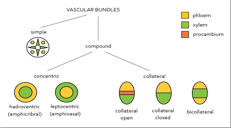 Vascular bundles in Plants