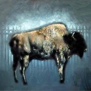 14_JaredPeters_bison_2011.jpg