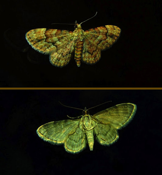 Geometridae : Larentiinae : Xanthorhoini : Visiana brujata GUÉNÉE, 1857. Umina Beach (New South Wales, Australie), 14 avril 2011. Photo : Barbara Kedzierski