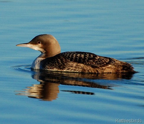3. pacific loon-kab