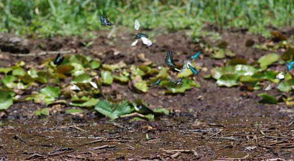 Rassemblement de Papilionidae (dont Graphium policenes CRAMER, 1775 et, à gauche, Papilio bromius DOUBLEDAY, 1845), de Pieridae et de Nymphalidae (au centre, probablement Hypolimnas anthedon DOUBLEDAY, 1845). Berges de la Nyong près d'Ebogo (Cameroun), 8 avril 2012. Photo : J.-M. Gayman