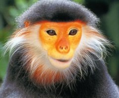 Douc langur, an Old World monkey