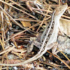 Brown Anole (Female)