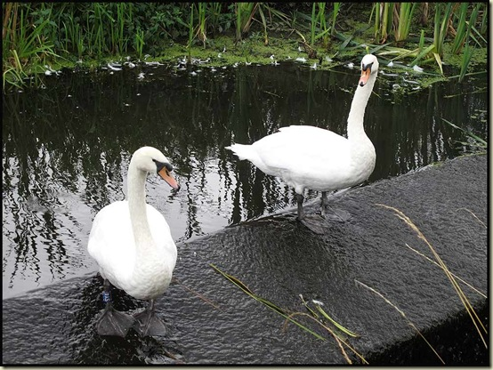Swans by the Manchester, Bury and Bolton Canal