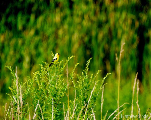 4. goldfinch-kab