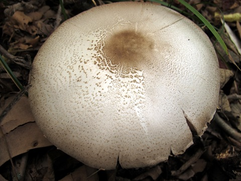 Agaricus placomyces white mushroom cap brown center