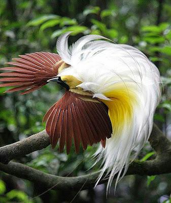 bird of paradise burung surga