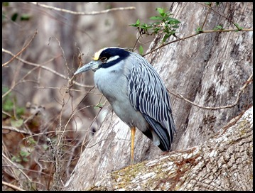 08 - Animals - Black Crowned Night Heron