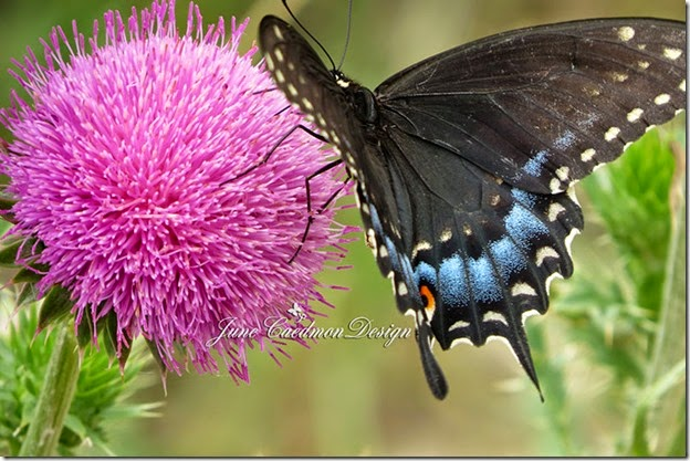 BlackSwallowtail