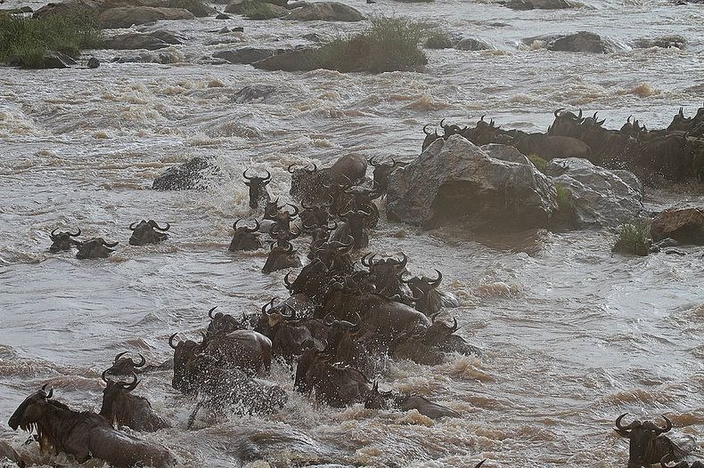 mara-river-crossing-7
