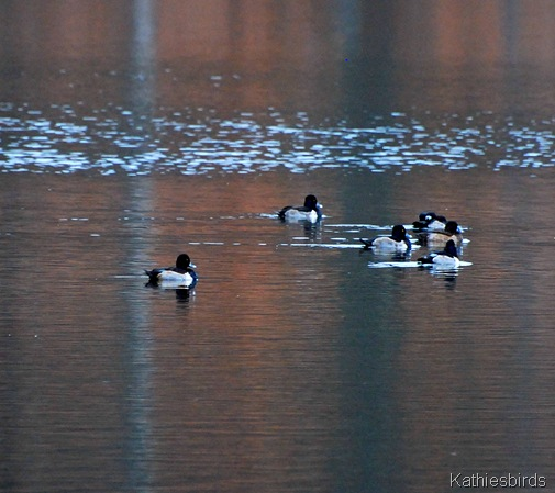 3. ring-necked ducks-kab