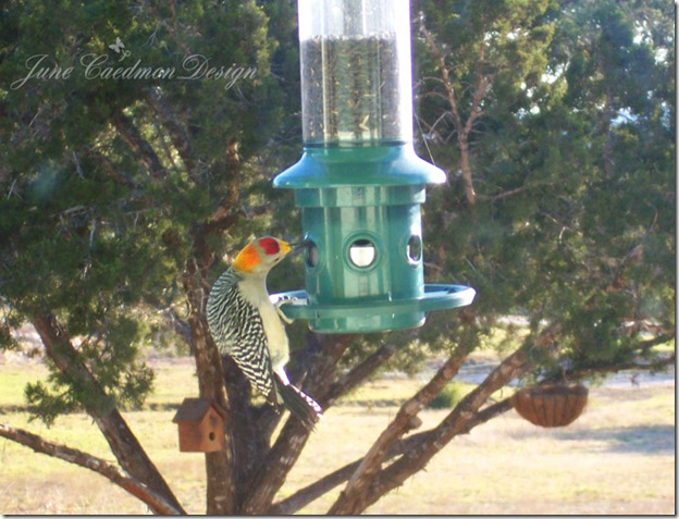 GoldFrontedWoodpecker