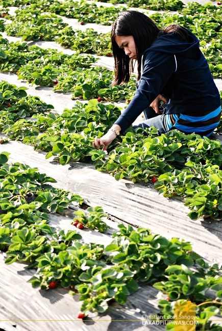 A Tourist Picking Strawberries at La Trinidad's Strawberry Farm